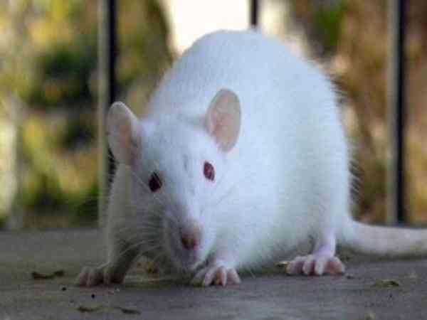 Mơ thấy chuột bạch