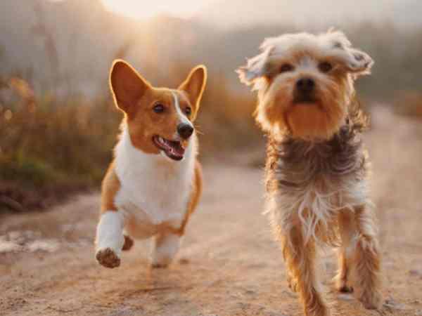 Mơ 2 con chó