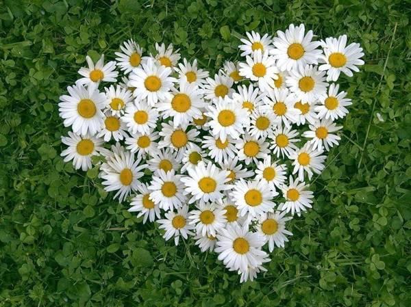 Nằm mơ thấy hoa cúc là điềm báo gì nên đánh con gì đánh số mấy